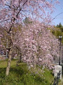 里山公園のしだれ桜